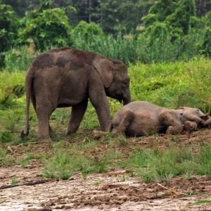Elefantino con madre nel fango
