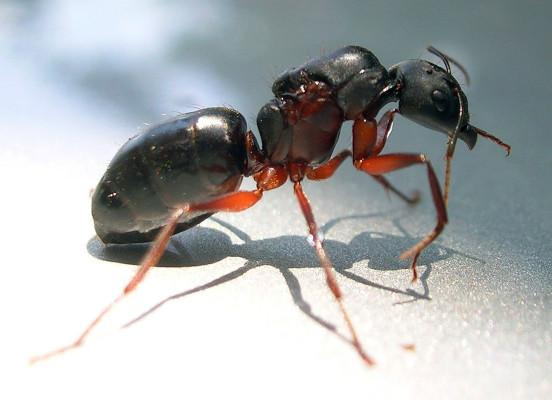 Malaysian exploding ant @ Wikipedia