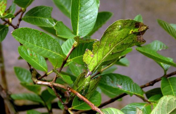 Leaf insect @ Wikimedia