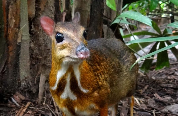 Mouse deer @ Wikipedia