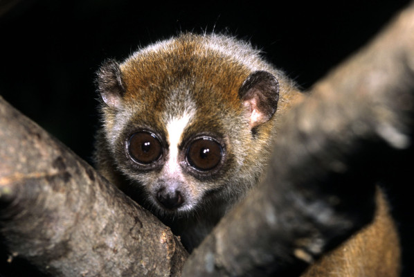 Slow Loris @ Wikipedia