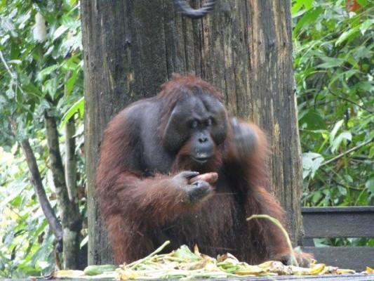 Orangutan alfa